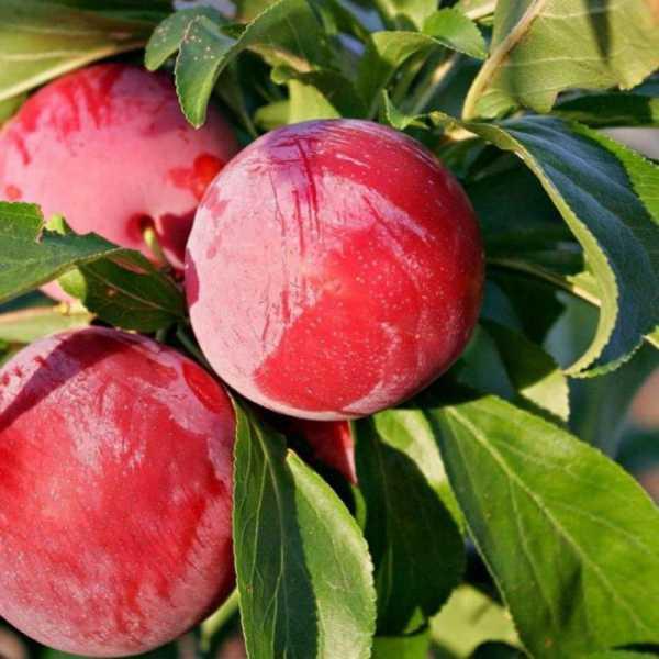 Слива богатырская — как вырастить урожай под стать названию