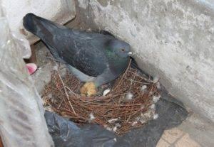 Серпастые голуби: описание, образ жизни, особенности полета