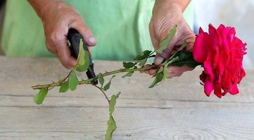 Особенности выращивания абрикоса из косточки в домашних условиях