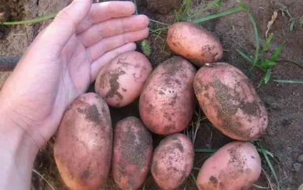 """Картофель """"венета"""": описание  сорта, характеристики и фото"""