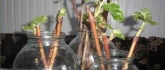 Абрикос – как растить, прививать и ухаживать, чтобы урожай радовал вас
