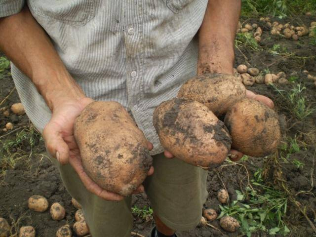 """Выращивание картофеля """"розара"""": правила посадки и ухода"""