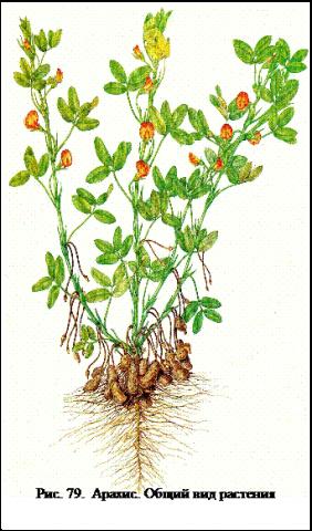Арахис: посадка и выращивание, уборка и хранение