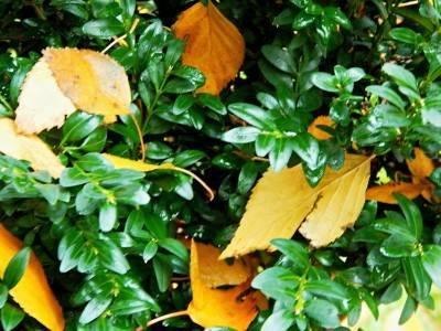 Самшит: посадка и уход в открытом грунте, виды и сорта самшита с фото