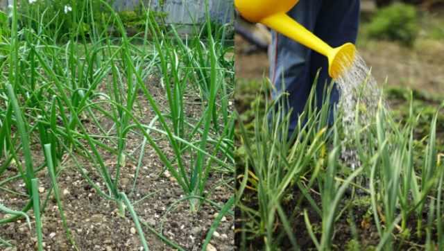 Нашатырный спирт: как применять в саду и на огороде