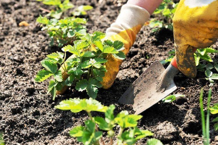 О правильной посадке клубники весной, осенью, летом в открытом грунте (схема)