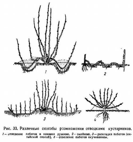 Лапчатка кустарниковая мэрион ред робин: фото + описание
