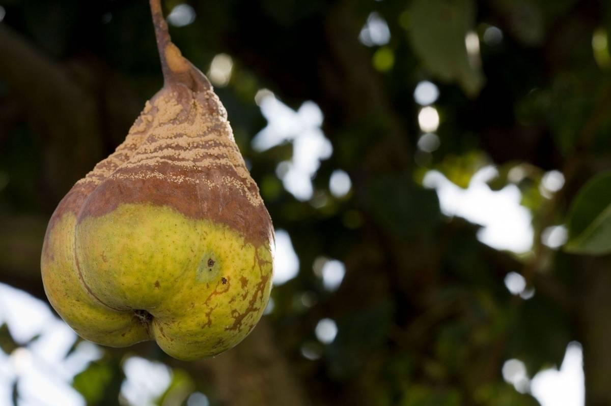 Что делать, если на груше чернеют и скручиваются листья?