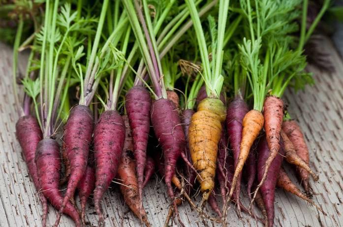 Морковь purple sun f1 — описание сорта, фото, отзывы, посадка и уход