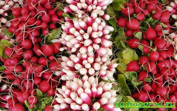 При какой температуре растет редис: какова оптимальная для почвы, можно ли сеять в открытый грунт, боится или нет заморозков, какое похолодание овощ выдерживает?