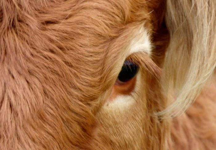 Глаза коровы: особенности строения, возможные заболевания, правила лечения