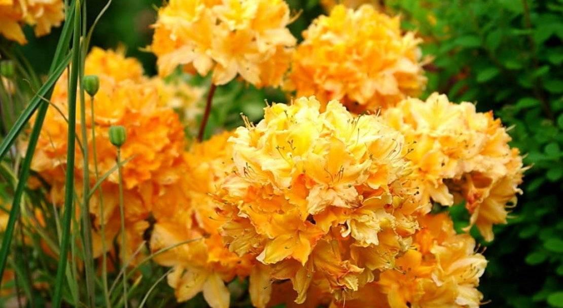 Азалия японская - один из самых красивых кустарников полусферической формы, который подходит как для садового выращивания, так и для комнатного.