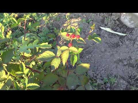 Ежевика бжезина описание — ягоды грибы