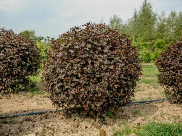 Пузыреплодник – правильная посадка кустарника и уход за ним