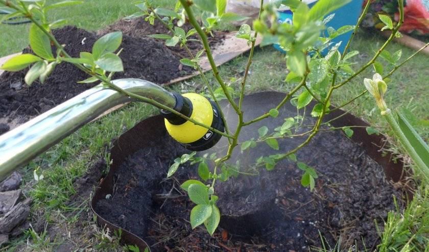 Почему голубика не плодоносит и что делать, причины и методы решения