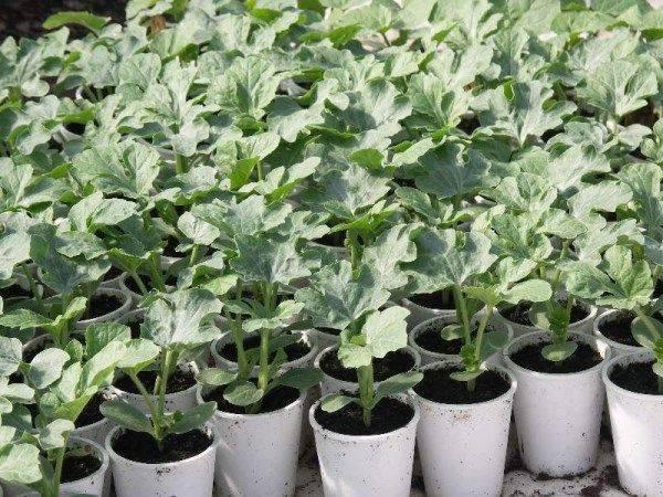 Как правильно посадить рассаду дыни в открытый грунт?