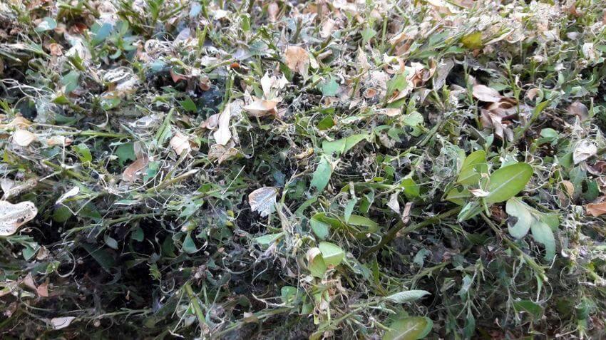 Спасение ароматной пряности: описание, фото и вид болезней и вредителей базилика, борьба с ними на разных стадиях
