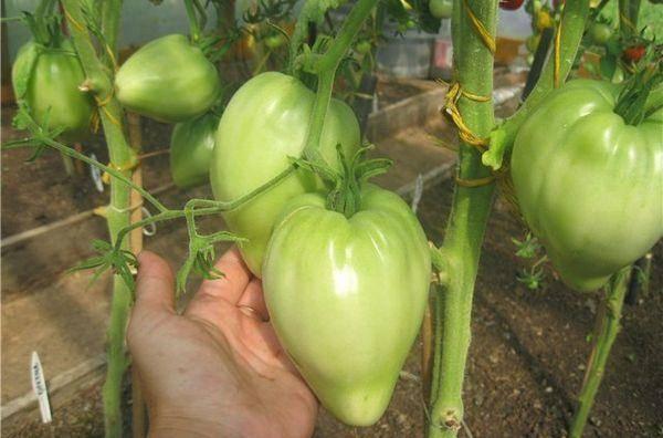 Помидоры «орлиный клюв»: описание, агротехника выращивания