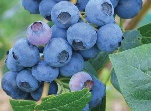 Голубика чиппева: характеристика сорта и особенности выращивания