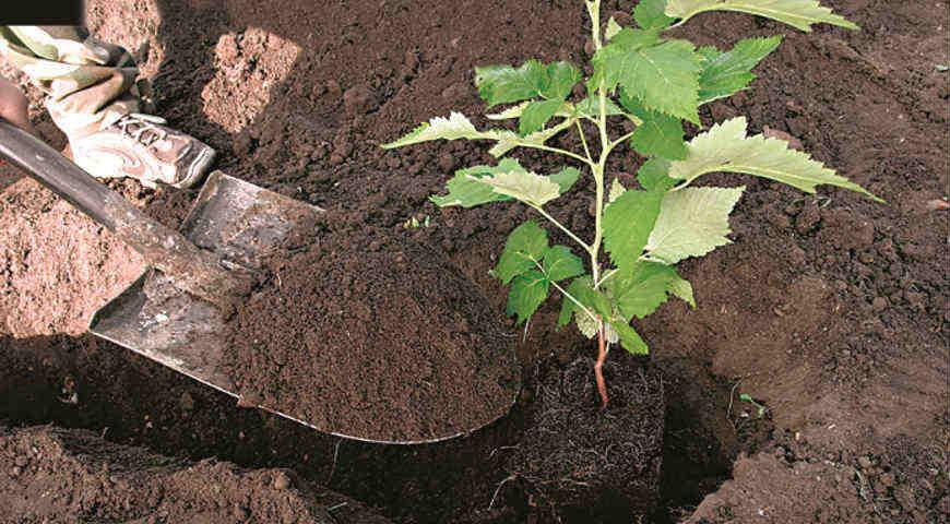 Весенняя пересадка малины на новое место: выбор места, посадочного материала