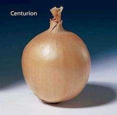 Как вырастить сорт лука «центурион»? фото, отзывы