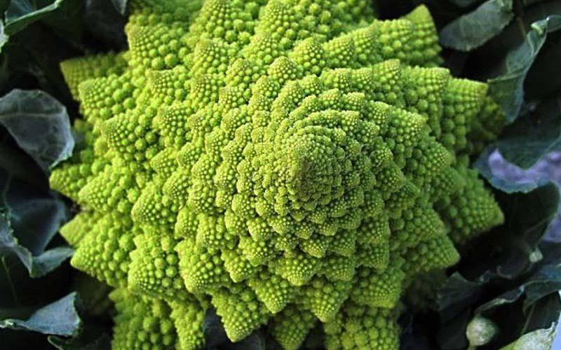 Сорта ранней и ультраранней белокочанной капусты