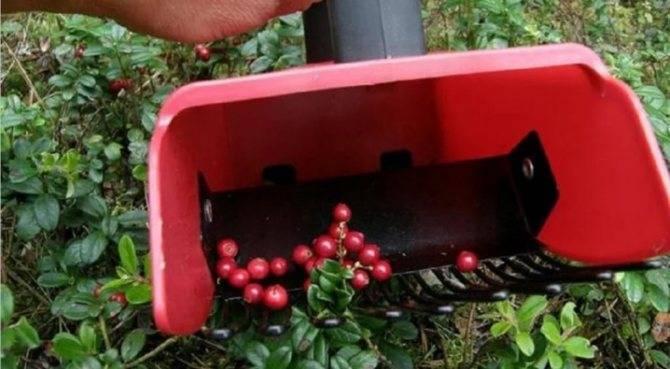 Как выглядит брусника: фото растения