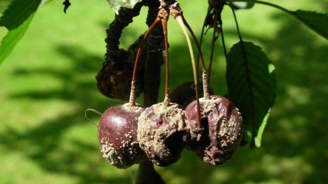 Сорт вишни малышка