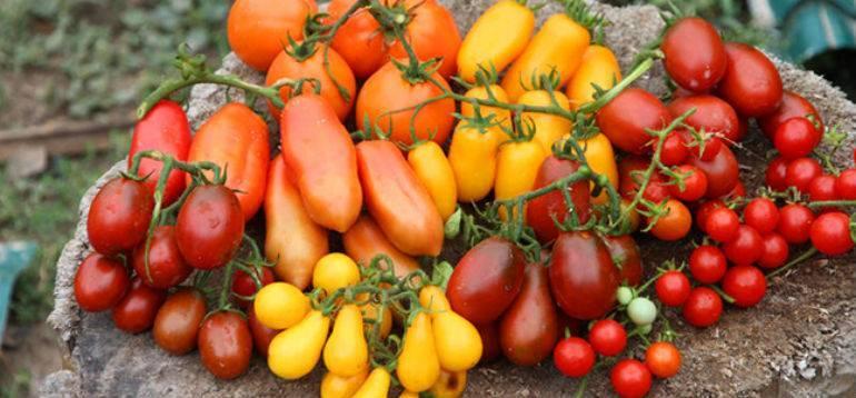 Какие голландские семена томатов можно сажать в открытый грунт?