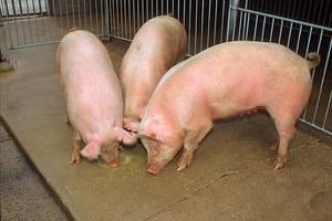 Чем кормить свиней и как правильно составить рацион
