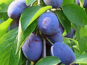 Описание и характеристика сорта сливы синильга