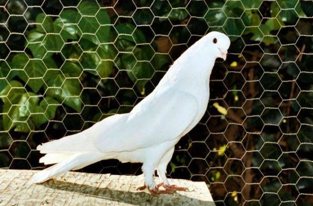 Бойные иранские голуби