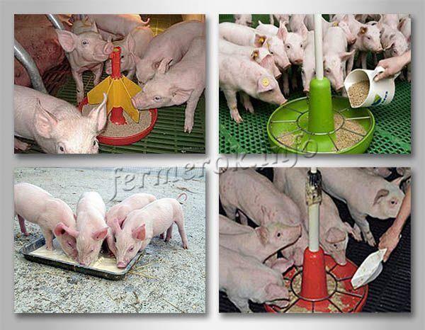 Болезни свиней и поросят - симптомы и лечение