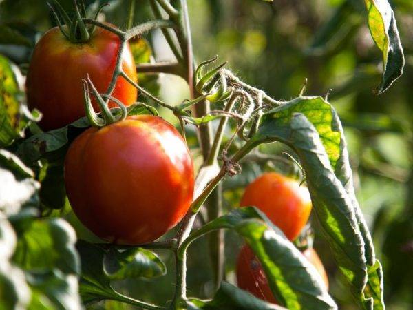 Какие достоинства гибрида томатов «санрайз f1»?