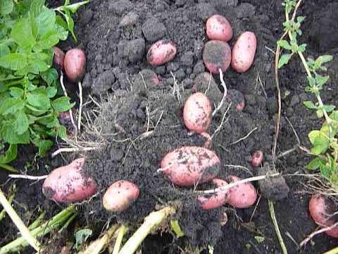 Картофель лабелла характеристика. описание и характеристика