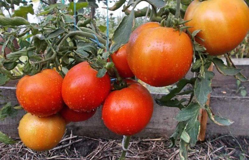 Низкорослые томаты: лучшие сорта и особенности выращивания