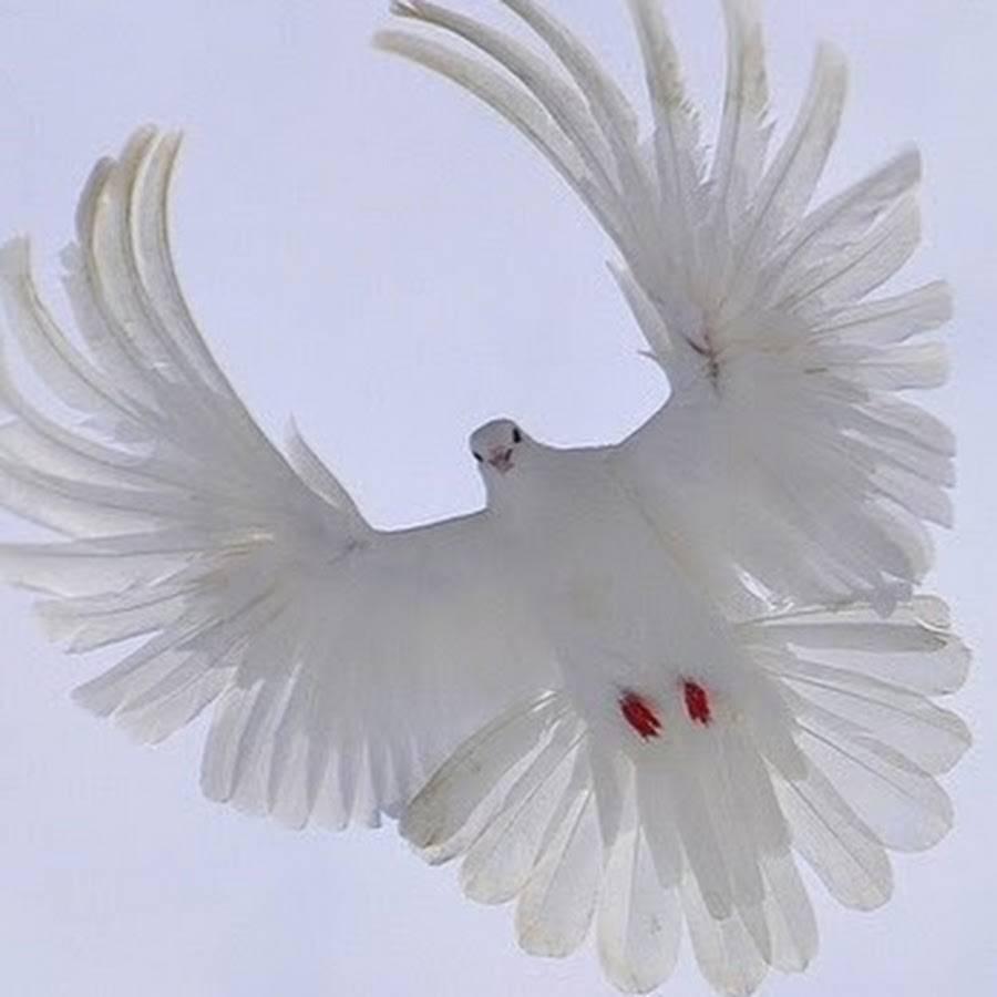 Серпастые голуби описание характеристика фото