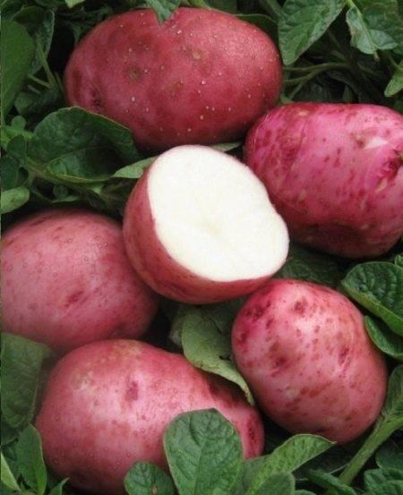 "Сорт картофеля ""беллароза"" – описание и характеристики"