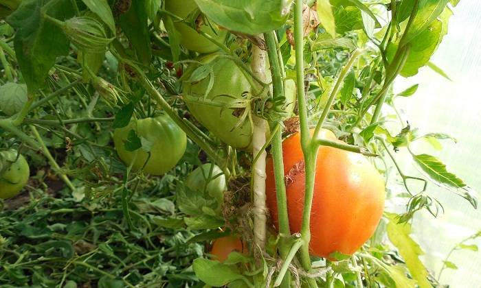 Томат Данко: отзывы, фото, урожайность