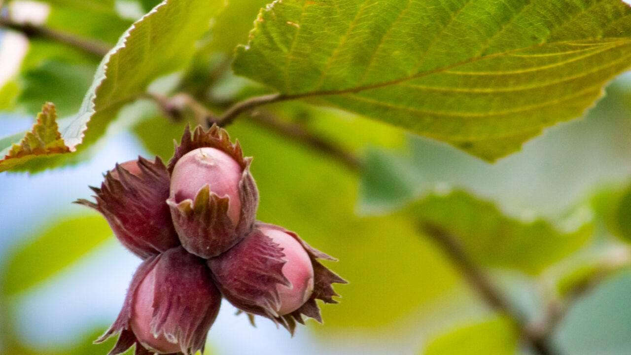 Лещина (орешник): выращивание, посадка и уход, обрезка и сорта