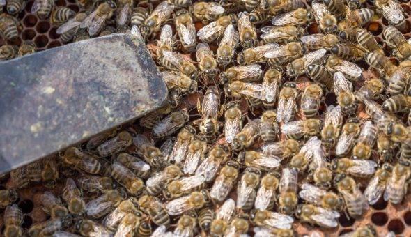 Пчелиный подмор для суставов, как изготавливать и как принимать
