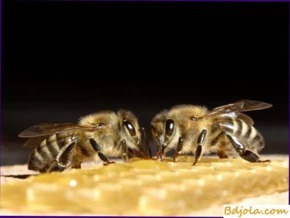 Лечение аспергиллеза пчел