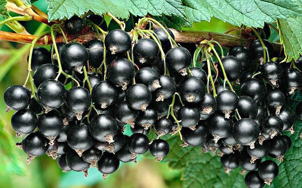 Чёрная смородина деликатес — основные характеристики сорта