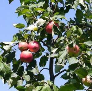 Сорт яблони мечта — подробная информация