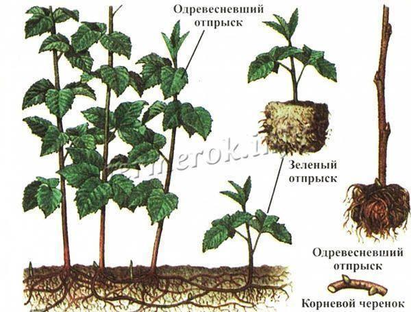 Top-8 сортов черной малины: описание, отзывы, выбор редакции