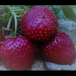 Черная виктория ягода. клубника «чёрный принц»: описание и технология выращивания. история создания сорта