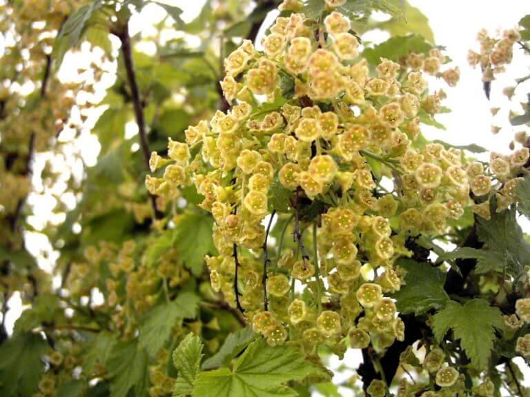 Смородина уральская красавица – вкусная и ароматная ягода