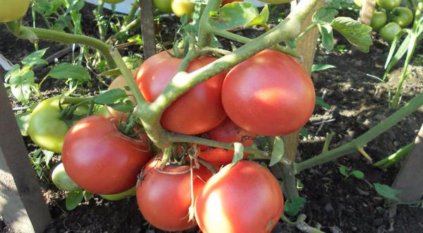 Фото, отзывы, описание, характеристика, урожайность сорта томата «леопольд»