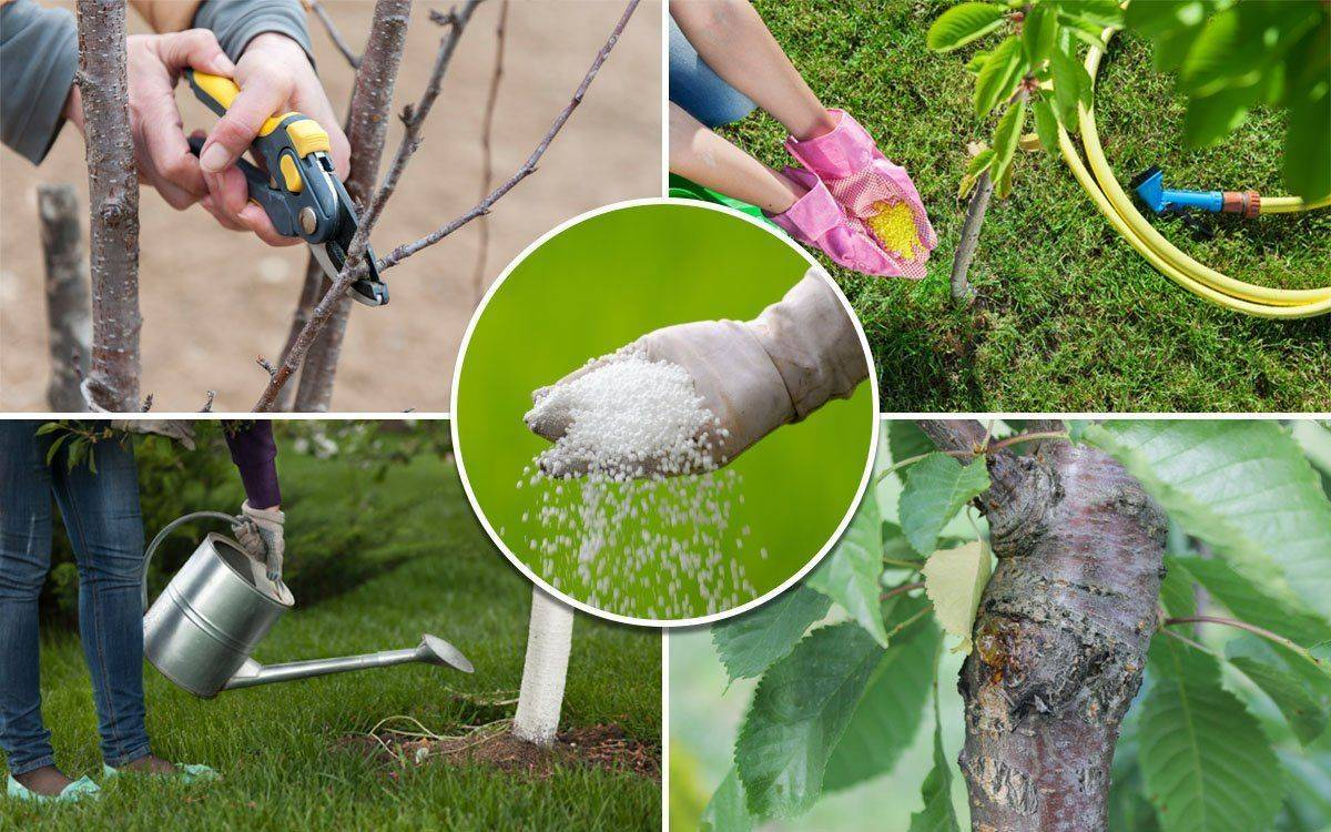 Как правильно ухаживать за черешней весной, чтобы получить хороший урожай