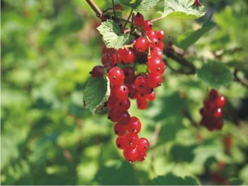 Смородина черная: сорта, выращивание и уход